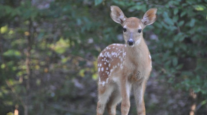 What is the Fawn Recruitment Rate on your property?